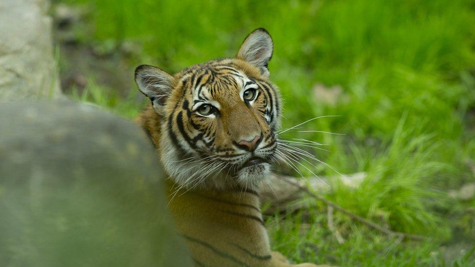أنثى نمر من الفصيلة الماليزية في حديقة حيوان برونكس عام 20ذ7