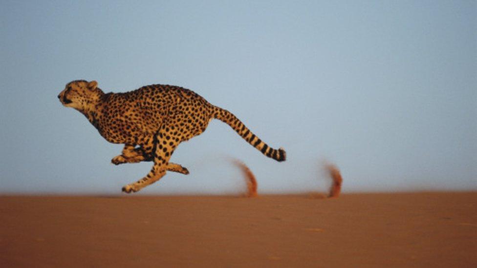 الفهد الصياد هو أسرع حيوان بري في العالم