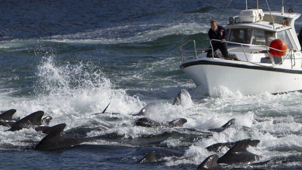 يعتبر صيد الحيتان ممارسة تقليدية في جزر فارو