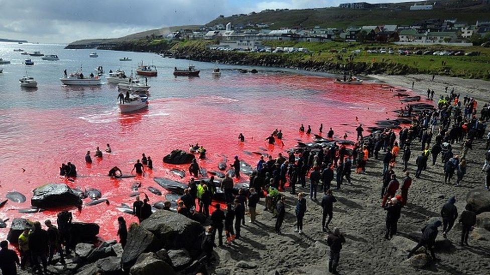 يتجمع الناس أمام البحر، الذي يتحول إلى اللون الأحمر، خلال رحلة صيد للحيتان في توشهافن ، جزر فارو